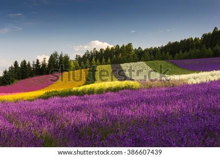 Flower field in Japan - stock photo