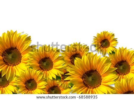 Flower field - isolated sunflowers against white background - including clipping path - stock photo