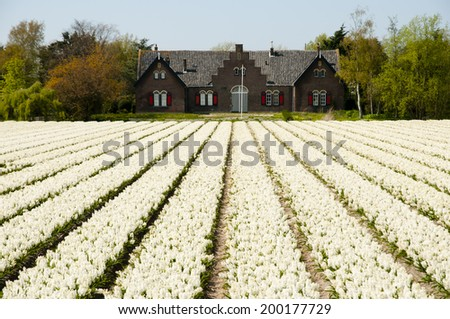 Flower Field - Netherlands - stock photo