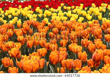 flower field of colorful tulips in spring - stock photo
