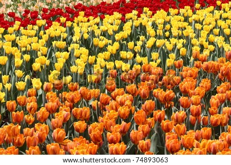 flower field of colorful tulips in spring
