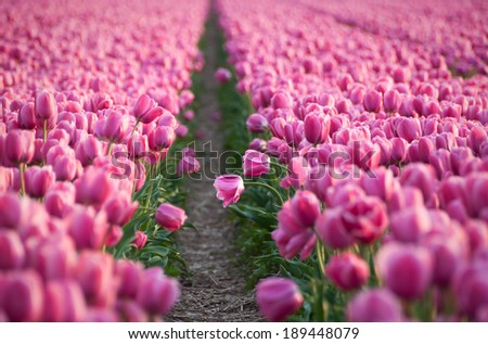 Flower field of pink tulips - stock photo