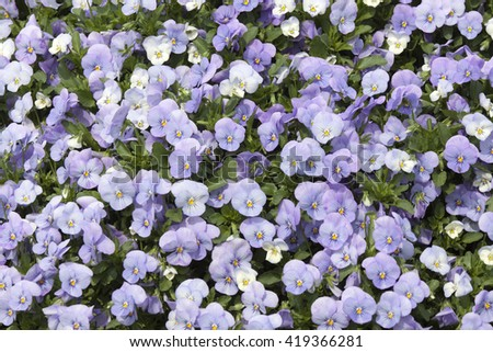 Flower field of violet flowers - stock photo
