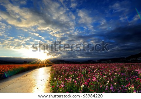 flower field with blue sky in the sunny morning - stock photo