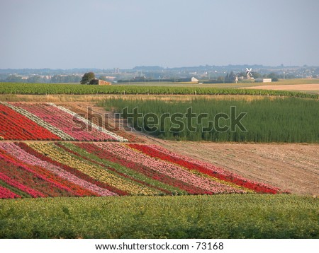 Flower fields with windmill. Not Holland, but France. - stock photo