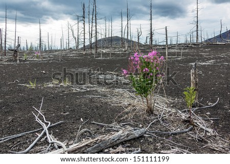 Flower Fireweed in the dead forest - a consequence of a catastrophic release of ash during the eruption of the volcano in 1975 Tolbachic (north breakthrough) - Kamchatka, Russia - stock photo