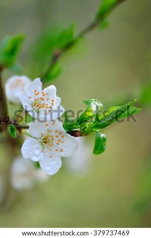 Flower fruit tree in the rain - stock photo
