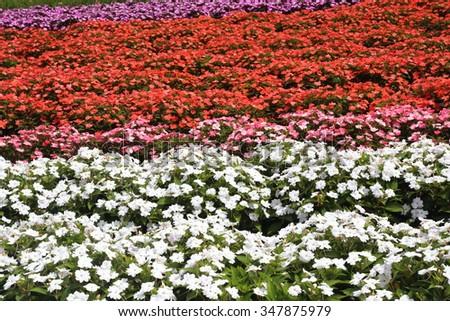 Flower garden of Impatiens  - stock photo