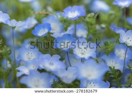 Flower garden of Nemophila - stock photo