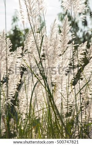 Flower grass while wind blow with sunshine at evening. Selective focus.