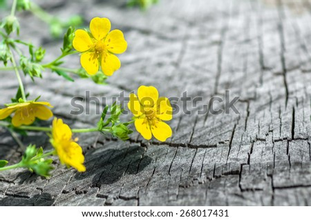 flower herb on the old wooden background - stock photo