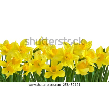 Flower holiday background with yellow daffodils isolated on white - stock photo
