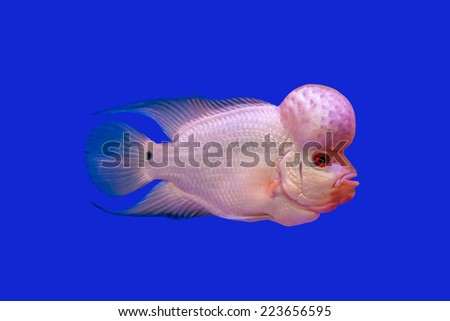 Flower Horn fish series