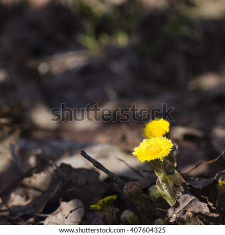 Flower in early spring, blooming coltsfoot, tussilago farfara, with bokeh background selective focus, shallow DOF - stock photo