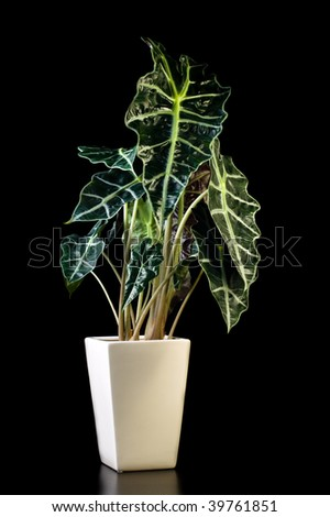 Flower in pot on a black background, Alocasia Polly - stock photo