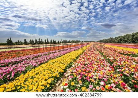 Flower kibbutz near Gaza Strip. The sun's rays shine from clouds. Spring flowering buttercups - stock photo