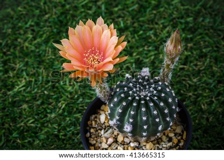 Flower Lobinopsis Cactus Old Rose or Orange color in black pot top view on grass background - stock photo