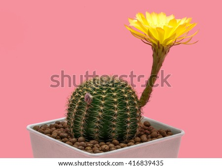 Flower Lobivia Cactus Yellow color in white pot on old rose pastel color background, isolated