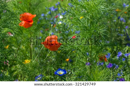 Flower meadow with poppies - stock photo
