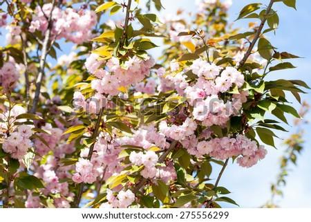 flower, natural, blossom, beautiful, sakura, nature, blooming, fresh, spring, cherry, petal, floral, background, season, pink - stock photo