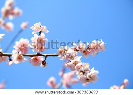 Flower of a blue sky and the plum