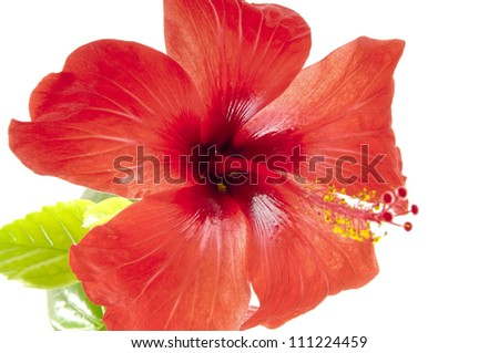 Flower of a hibiscus
