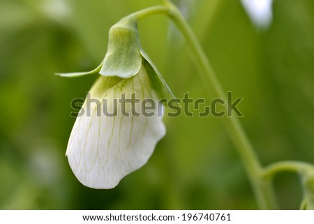 Flower of a pod race Rijspeul Hendriks in the organic vegetable garden Groentenhof in Leidschendam. - stock photo
