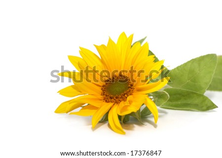Flower of a sunflower on a white background - stock photo