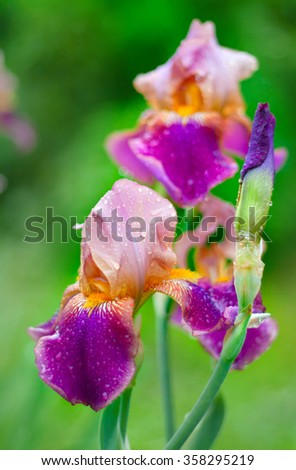 Flower of a violet iris after a rain. with water drops. A close up against a green grass - stock photo