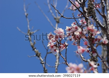 Flower of a weeping cherry tree