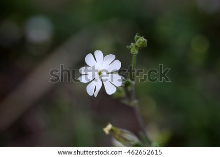 Flower of a white campion  (Silene latifolia)