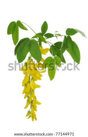 Flower of a yellow acacia - stock photo