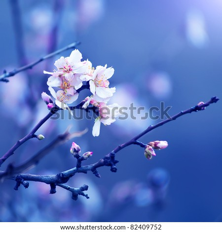 Flower of almond close-up - stock photo
