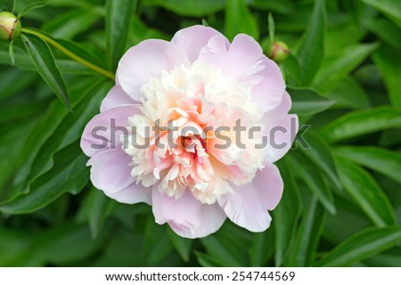 Flower of beautiful blossoming pink peony in spring - stock photo