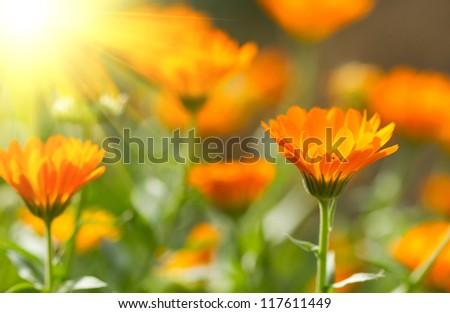 Flower of beautiful calendula - stock photo
