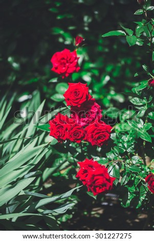 Flower of beautiful delicate red rose macro top view - stock photo