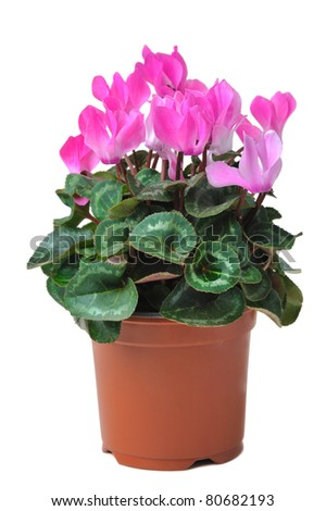 flower of  blooming pink cyclamen  in pot isolated on white background