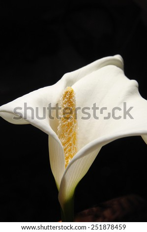 Flower of Calla lily closeup on black background  - stock photo