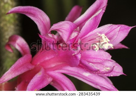 flower of Cleistocactus winteri Cactus - stock photo