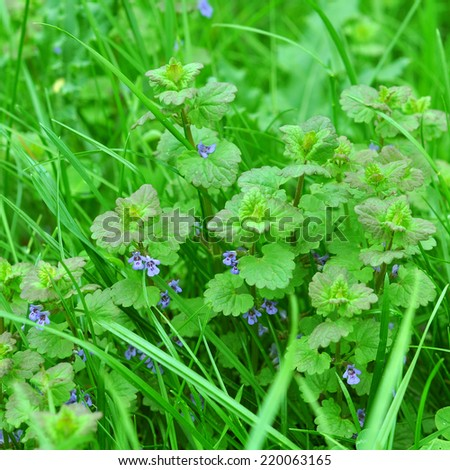 flower of henbit  The plant purple dead-nettle Purple dead-nettle is a weed plant. Flowering occurs from April until the first snowfall. This is honey plant .  - stock photo