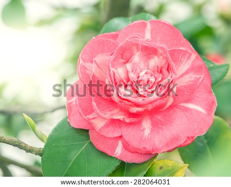 Flower of japanese camellia on the branch. - stock photo