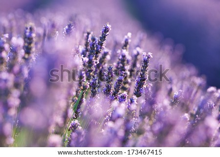 Flower of Lavender during sunrise - stock photo