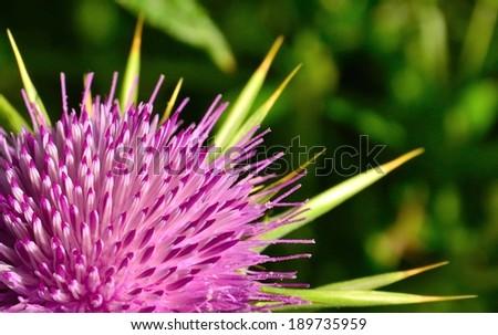 Flower of milk thistle silybum marianum in full splendor - stock photo