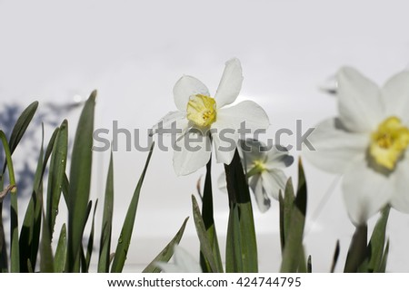 Flower of Narcissus. - stock photo