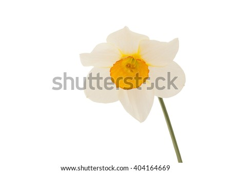 Flower of  Narcissus. Macro. Flower of Narcissus on white background. - stock photo