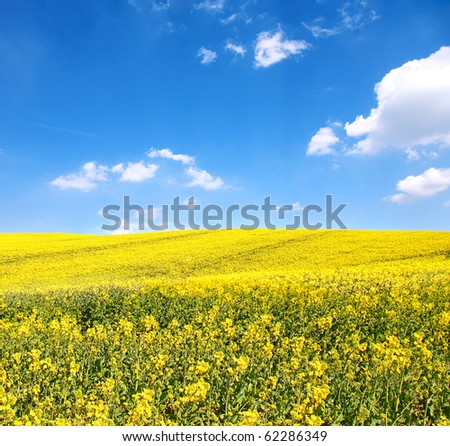 flower of oil rapeseed in field with blue sky and clouds - stock photo