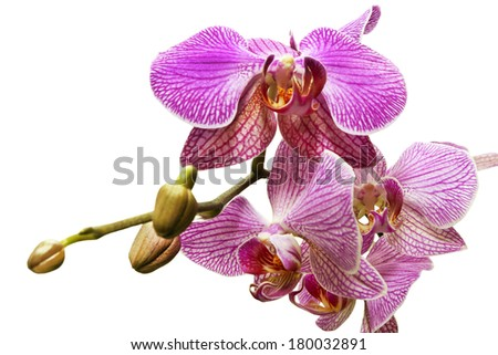 flower of orchid isolated on a white background - stock photo