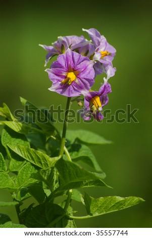 flower of potato plant - stock photo