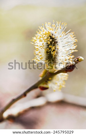 flower of pussy willow catkin - Salix Caprea - spring blossom - stock photo