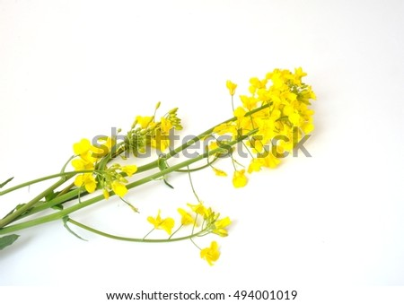 Flower of rape